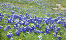 Selective focus view of Texas Bluebonnets on a hillside Royalty Free Stock Photography