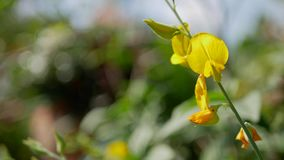 Vivid yellow flowers of Indian or Sunn hemp, Crotalaria Juncea, in the mid of afternoon sunlight. Selective focus of vivid yellow flowers of Indian or Sunn hemp stock video footage