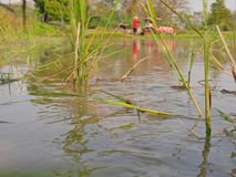 Water being released / irrigated / streamed into a paddy field in rural area in the North of Thailand. Selective focus of water being released / streaming into a royalty free stock photo