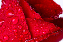 Selective focus of wet red rose petal surface with shallow depth Stock Image