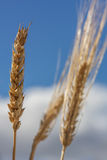 Selective Focus Wheat Stock Photo