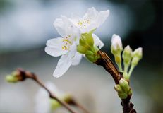 Selective Focus Of White Clustered Flowers Stock Photo