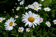 Selective Focus of White Daisy Flower Stock Photo