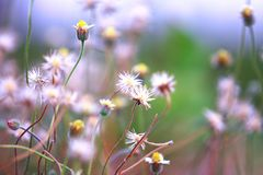 Selective Focus of White Dandelion Royalty Free Stock Images