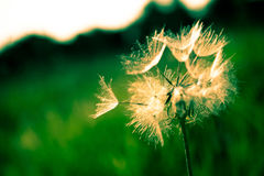 Selective Focus of White Dandelion Royalty Free Stock Photography