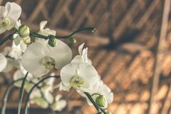 Selective Focus White-and-green Moth Orchids Stock Image