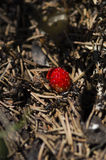 Selective focus on a wild strawberry in an anthill Stock Photography