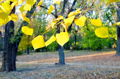 Selective focus on the yellow fall leaves in the foreground Royalty Free Stock Photos