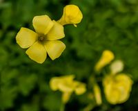 Oxalis flowers in garden Stock Image