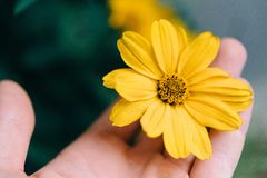 Selective Focus of Yellow Petaled Flower Royalty Free Stock Photos