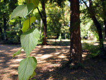 Selective focus on a young branch of a tree with leaves. On blurred background with plants and paths of summer park Royalty Free Stock Image