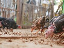 Young chickens in a coop being fed with termites. Selective focus of young chickens in a coop being fed with termites royalty free stock photography