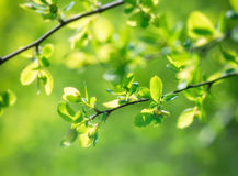 Selective focus on young spring leaves Stock Image