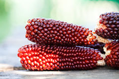 Selective focuse Boiled corn cobs, brown red color Maize seeds macro view. Shallow depth field close-up photo. Soft Stock Photos