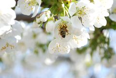 Selective Photo of a Bee in White Petaled Flower during Daytime Stock Images