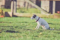 Selective Photo of White and Black Dog at the Grassy Field Stock Image