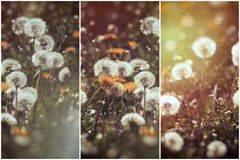 Selective and soft focus on dandelion seeds - beautiful nature. Dandelion flower and dandelion seed fluffy blow ball, selective and soft focus on dandelion seeds Royalty Free Stock Photo