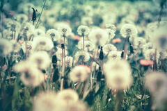 Selective and soft focus on dandelion seeds in meadow. Spring in meadow Stock Photography
