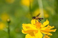 Honey bee flies up to yellow cosmos flower. To collect nectar. Selective soft focus honey bee flies up to yellow cosmos flower. To collect nectar on nature Royalty Free Stock Image