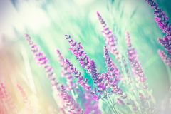 Selective and soft focus on purple flowers in meadow Royalty Free Stock Photos