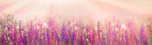 Selective and soft focus on purple flowers in meadow. In spring - springtime Stock Photography