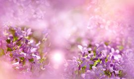 Selective and soft focus on purple flowers. Purple flowers in spring, in meadow close-up Stock Photography