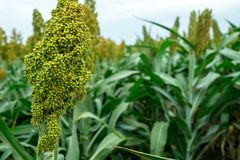 Selective soft focus of Sorghum field in sun light Royalty Free Stock Images