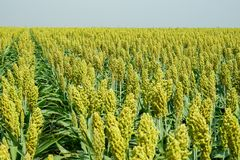 Selective soft focus of Sorghum field in sun light Stock Photo