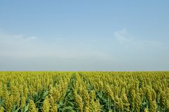 Selective soft focus of Sorghum field in sun light Stock Image