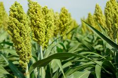 Selective soft focus of Sorghum field in sun light Stock Photography