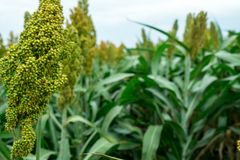 Selective soft focus of Sorghum field in sun light Royalty Free Stock Photos