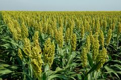 Selective soft focus of Sorghum field in sun light Royalty Free Stock Photo