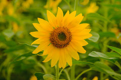 Selective and Soft focus. Sunflowers field Royalty Free Stock Photo