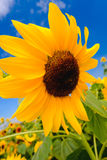 Selective and Soft focus. Sunflowers field Stock Photos