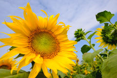 Selective and Soft focus. Sunflowers field with blue sky Stock Photos