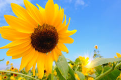 Selective and Soft focus. Sunflowers field with blue sky Royalty Free Stock Photos