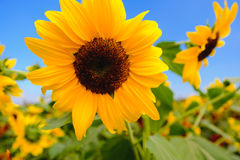Selective and Soft focus. Sunflowers field with blue sky Stock Image