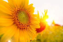 Selective and Soft focus. Sunflowers field with lighting flare effect.  Stock Images