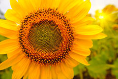 Selective and Soft focus. Sunflowers field with lighting flare effect Royalty Free Stock Photography