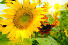 Selective and Soft focus. Sunflowers field with lighting flare effect Stock Photos