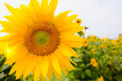 Selective and Soft focus. Sunflowers field with lighting flare effect Royalty Free Stock Photos