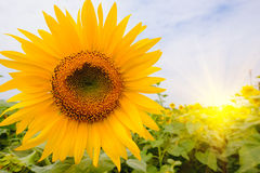 Selective and Soft focus. Sunflowers field with lighting flare effect Stock Images