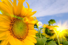 Selective and Soft focus. Sunflowers field with lighting flare effect Stock Image