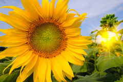 Selective and Soft focus. Sunflowers field with lighting flare effect Royalty Free Stock Image