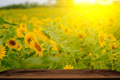 Selective and Soft focus. Sunflowers field with lighting flare effect Royalty Free Stock Photo