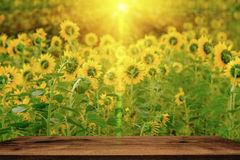 Selective and Soft focus. Sunflowers field with lighting flare effect Stock Photo