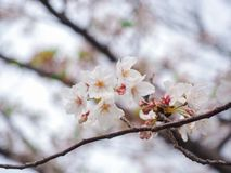 Selective soft focus of white cherry blossom or Sakura flower on on diffused background. Blossoms spring bloom nature tree branch closeup isolated flora stock image