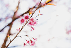 Selective soft focus Wild Himalayan Cherry or Sakura flower Royalty Free Stock Photography