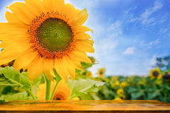 Selective and Soft focus. Wood table and Sunflowers field Royalty Free Stock Photography