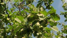Φιλικά προς το περιβάλλον μήλα Πράσινα μήλα στο δέντρο τα όμορφα μήλα ωριμάζουν σε έναν κλάδο στις ακτίνες του ήλιου απόθεμα βίντεο